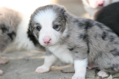 Les chiots Border collie de Vamp et Vip - Elevage canin